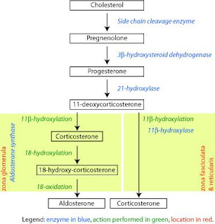 Cortex suprarenal textos sobre fisiopatologia httpenpediawiki imagecorticosteroid biosynthetic pathway ratg ccuart Image collections