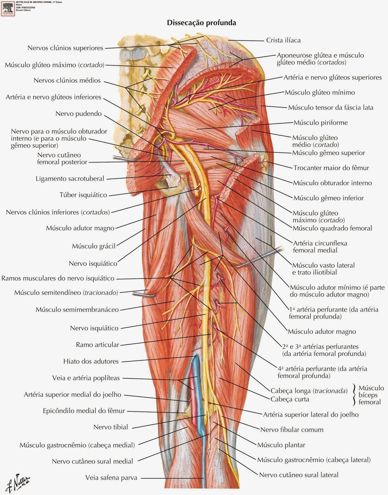 Lujo Arteria Femoral Superficial Componente - Anatomía de Las ...