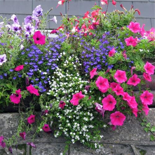 Gardening with wyatt gardening around the globe - Wave petunias in containers ...