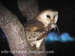 Burung Hantu makan tikus di info-faktaunik.blogspot.com