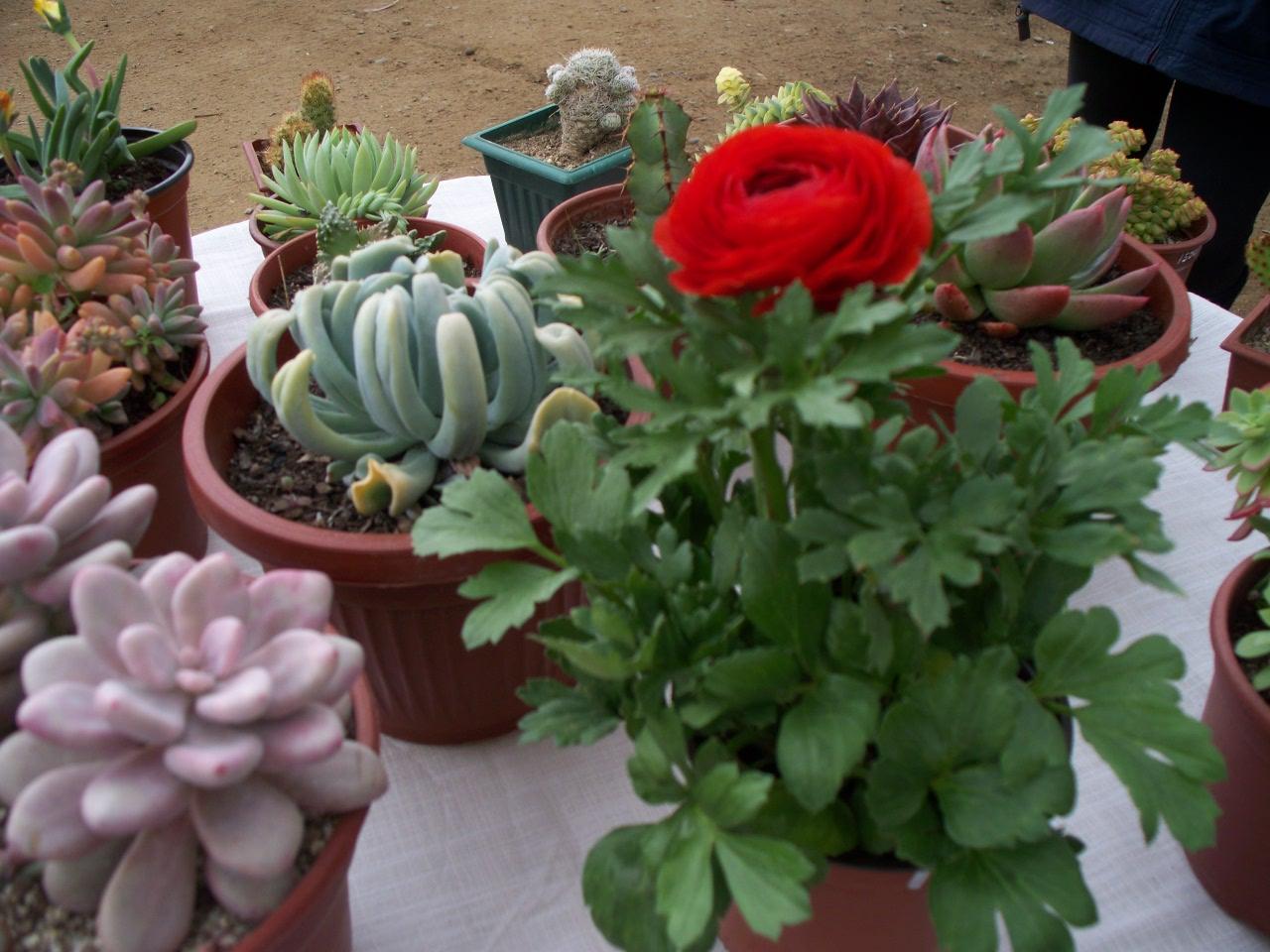 Pueblo artesanal de algarrobo cactus y suculentas for Suculentas chile
