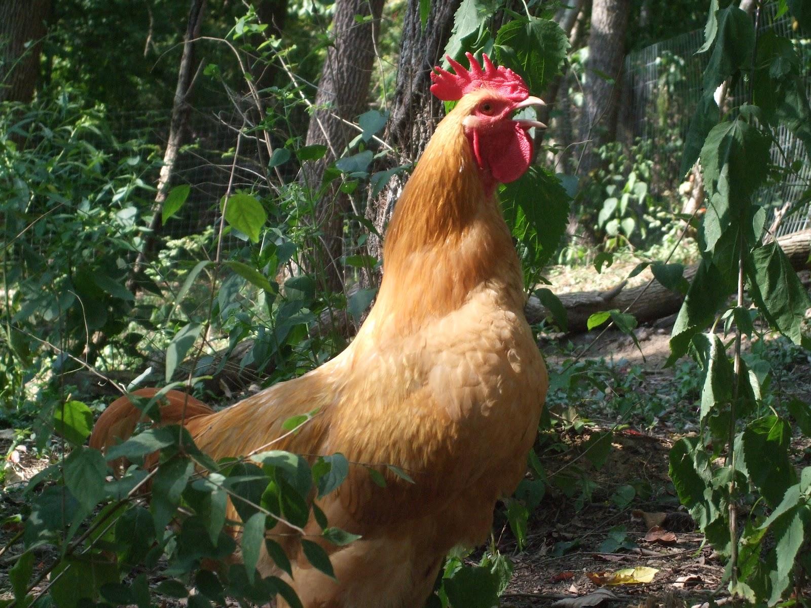 pam u0027s backyard chickens 2012
