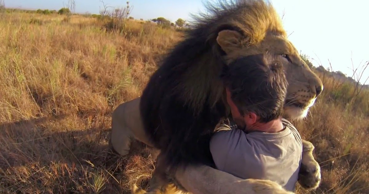 man tries to hug a wild lion you won t believe what happens next. Black Bedroom Furniture Sets. Home Design Ideas