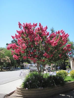 Deep Pink Crape Myrtle Tree in August, Paso Robles, © B. Radisavljevic
