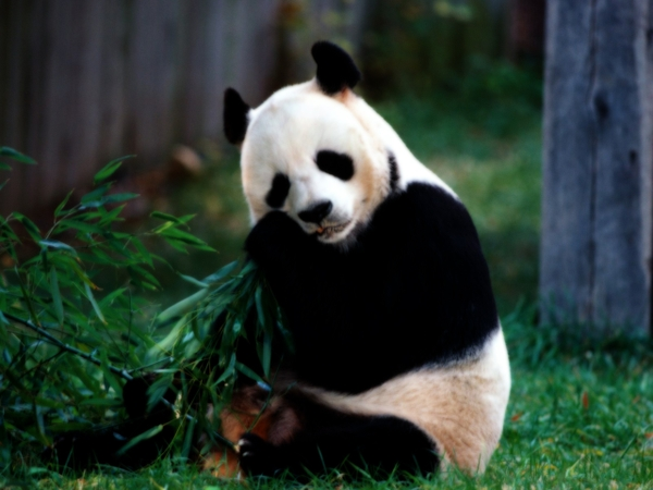 Panda Pictures | Beautiful Panda | White Panda | Black Panda | Panda ...