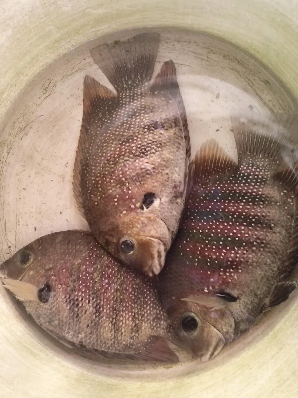 Pr mangalore sea fish and crab for Parana the fish