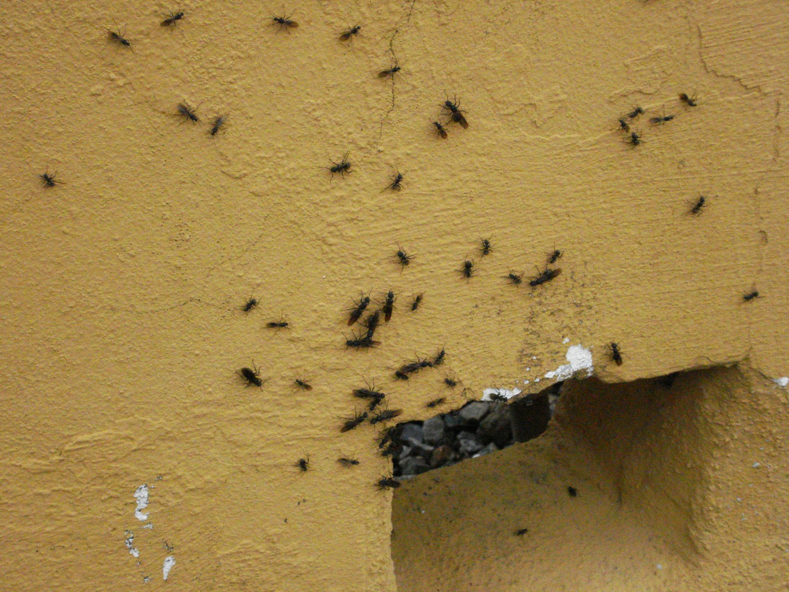 Queen ants  tagged  ants for sale   British Ants