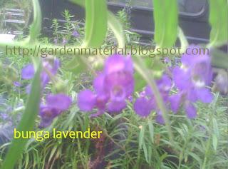 tanaman lavender bunga ungu si pengusir serangga