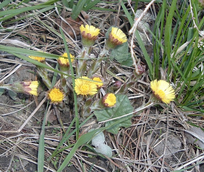 [Photo: Tussilago farfara.]