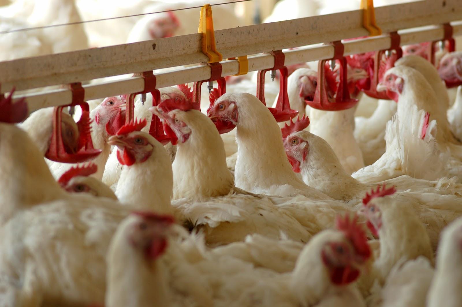 МКПМ в кормлении птицы