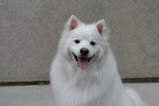 American Eskimo Dog Ruckus portrait photo