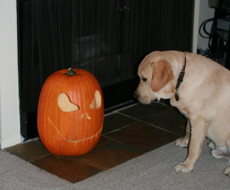 Pumpkin face curious pup