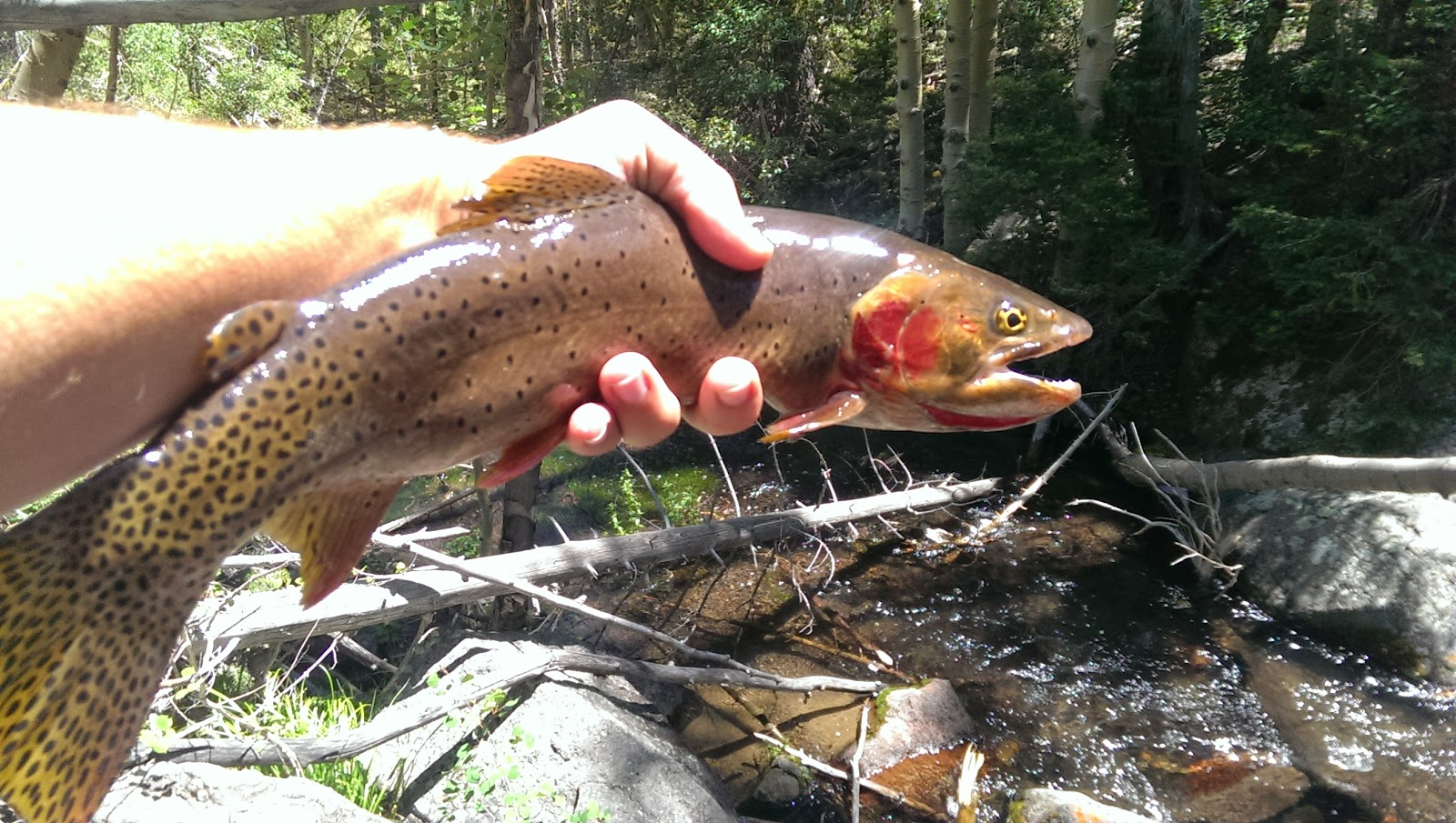 Fish on the brain boulder mountain again and assorted for Boulder fly fishing