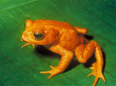 Most Amazing Extinct Land Animals Golden Toad