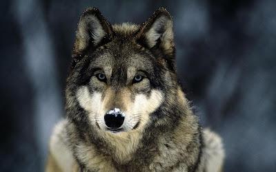 сон с волком