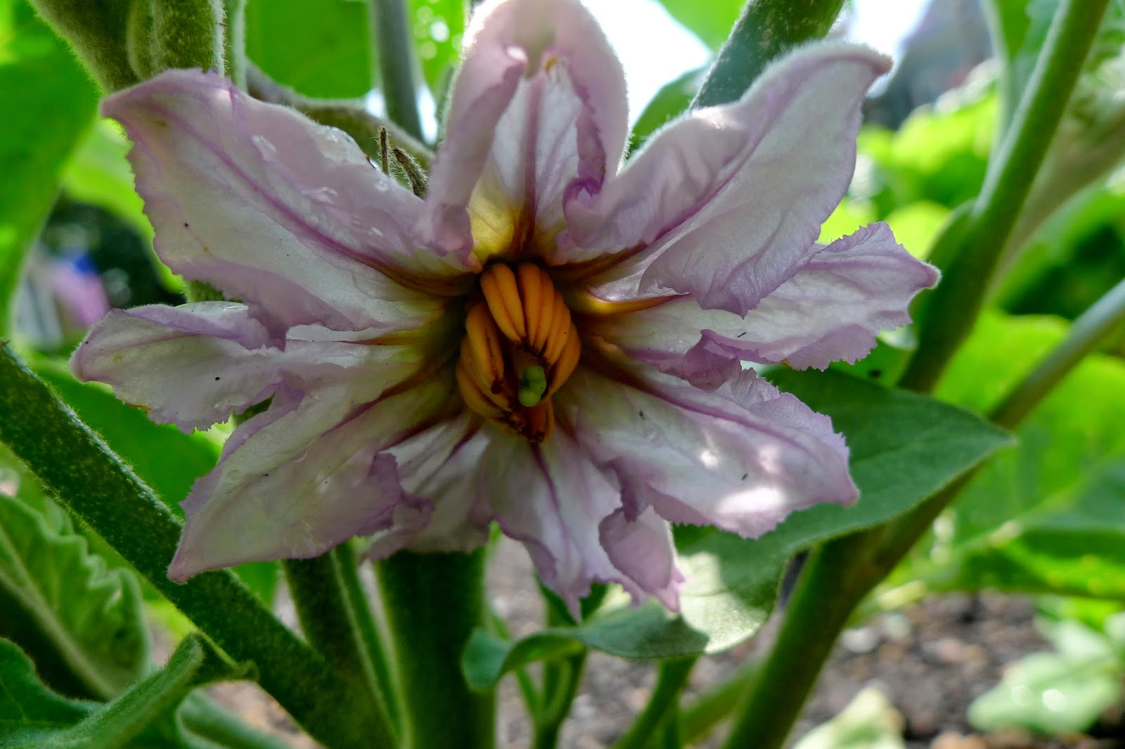 Black Beauty eggplant flower, urban gardening
