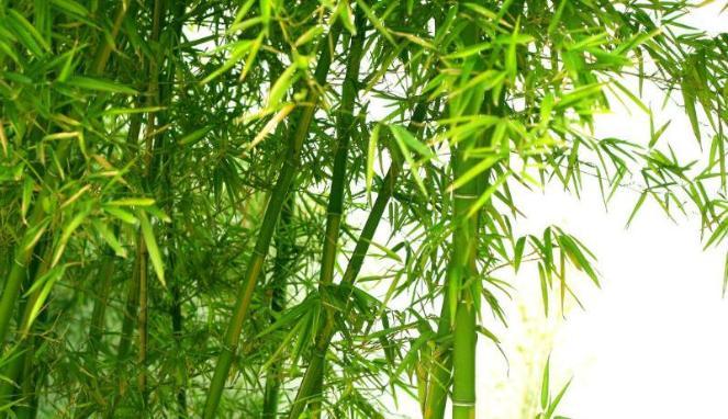 Mengapa Bambu dijadikan Senjata Saat Melawan Penjajah ?