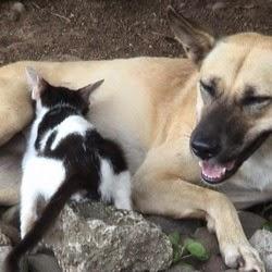Uniknya Anjing Menyusui Kucing