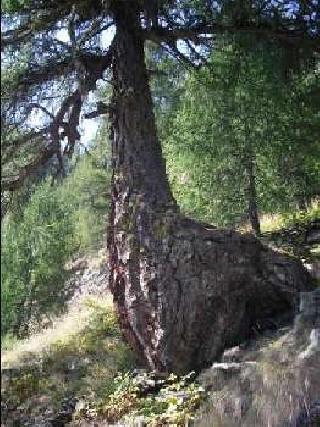 Matteo e ronja nel parco nazionale dello stelvio matteo e for Le pigne dei larici