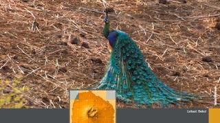 Si Cantik Burung Merak Hijau,bulu merak hijau,gambar merak hijau