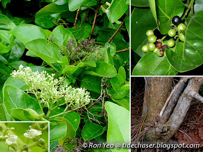 Buas Buas (Premna serratifolia)