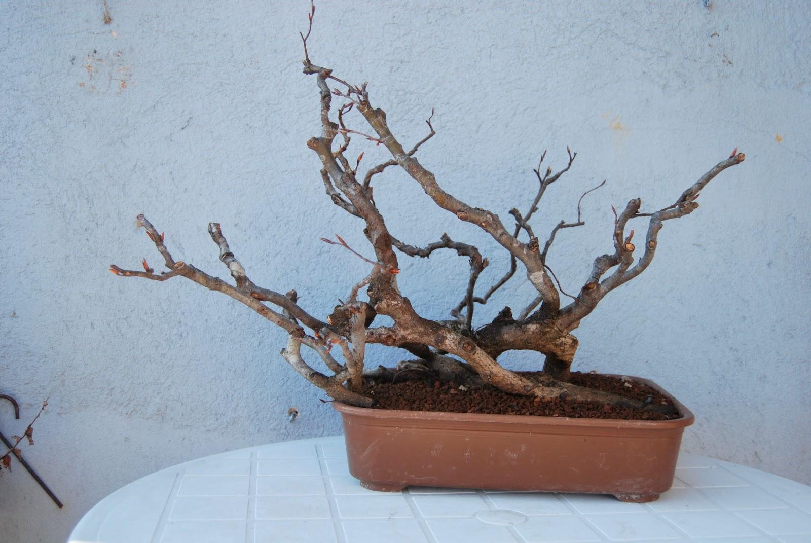 Pepeyote en bonsai haya - Bonsai de haya ...