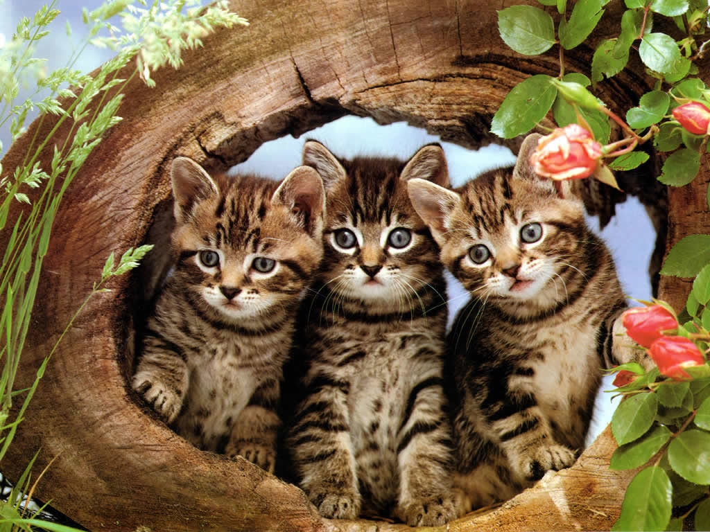 Cat kittens wallpaper 2 love and quotes The three cats
