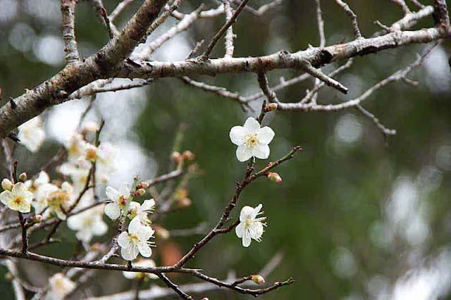 Plum terr, branches, blossoms