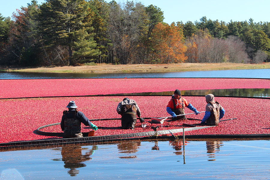 Massachusetts Cranberry Bogs
