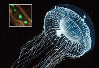 Proteina verde fluorescente: Medusa