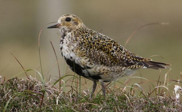 Pluvierdore - Fauna Iberica - Fauna Española - http://spanishfauna.blogspot.com.es