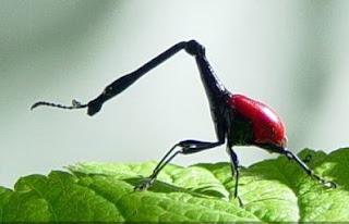 Kumbang Penggerek Jerapah