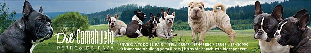 Del Camahueto Bulldog