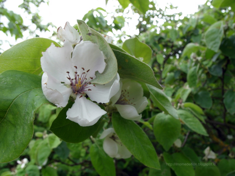 In nome dei fiori melo cotogno fiori bianchi e foglie pelose for Nomi di fiori bianchi