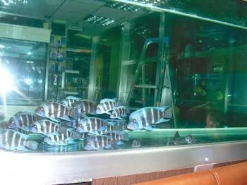 Frontosa akvaryum balıkları