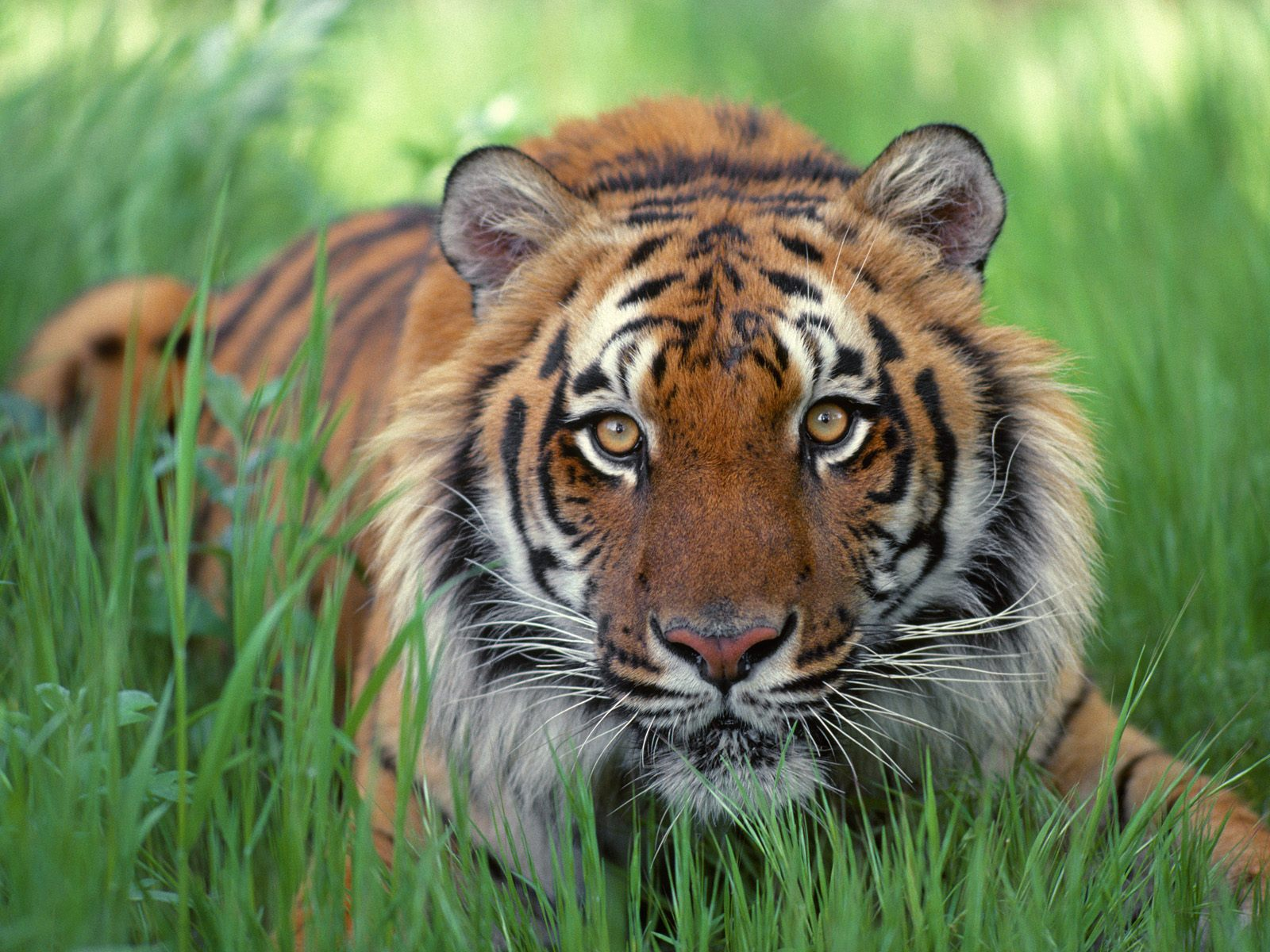 Y Tigers Are Endangered Treading Lightly: Febr...