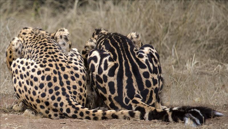 Полосы у гепардов и леопардов