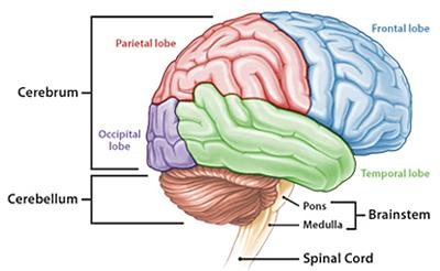 Otak merupakan organ pada badan insan yang berfungsi sebagai sentra jaringan saraf yag b Bagian-Bagian Otak Dan Fungsinya