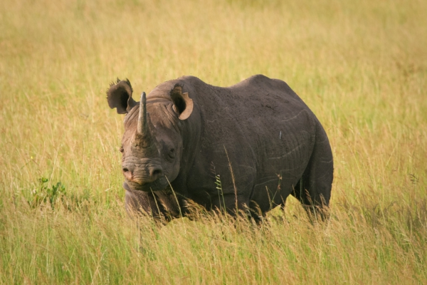 black rhino pictures photo endangered species top ten