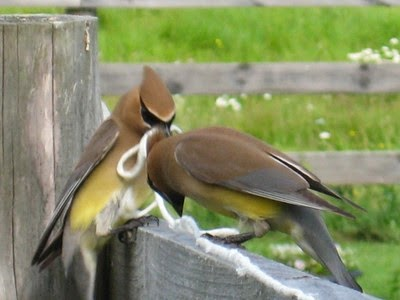 Cedar waxwings with string