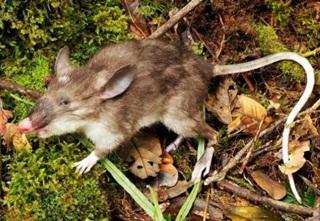 Di Bangladesh, Membunuh Tikus Dapat Hadiah Dari Pemerintah