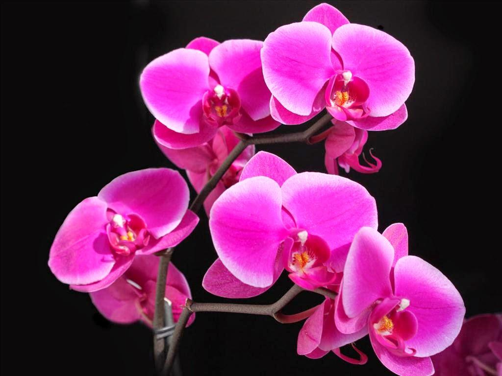 hình nền hoa phong lan đẹp nhất