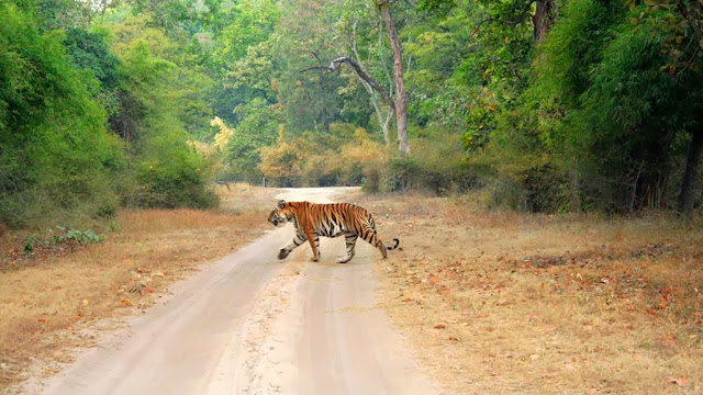 Tiger in Bandhavgarh National Park,