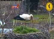 Transmisja na żywo z bocianiego gniazda w Łomnicy