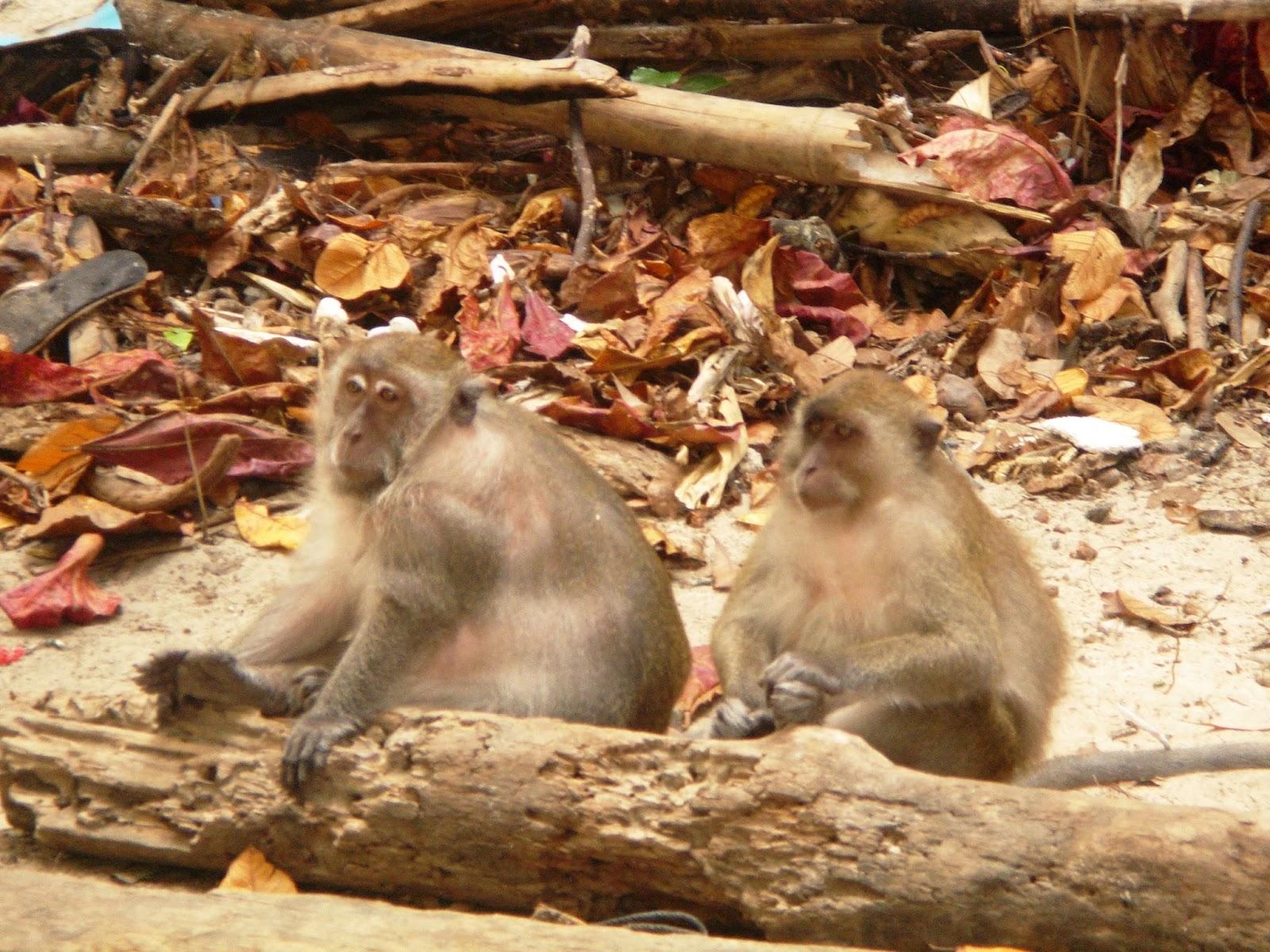 phi-phi-island-thailand-beach-asia-monkeys