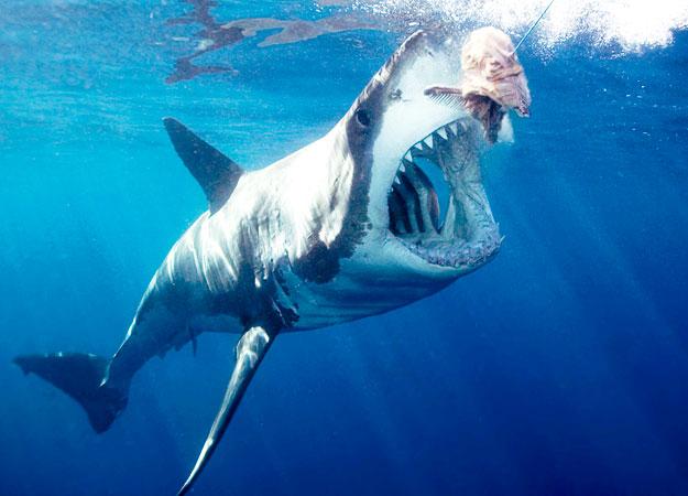 great white shark bait