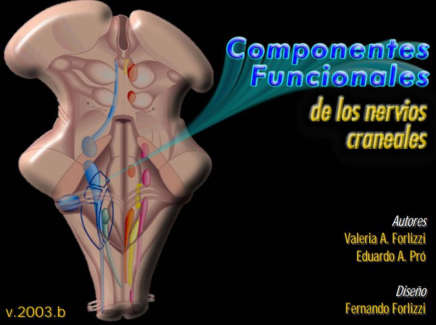 Anatomía 2012 - Ayudante Pablo Prado: Componentes Funcionales de los ...