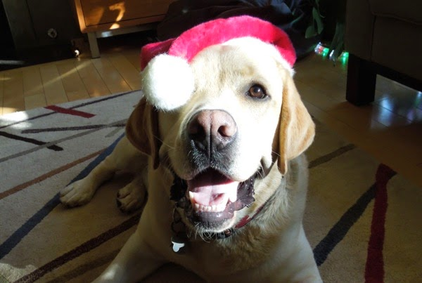 Happy Santa Hat Labrador Cooper