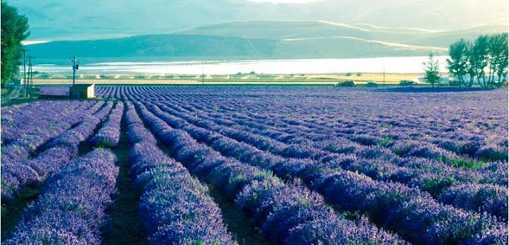 Lavender-Farm-Photos-Pictures-Images-Pics