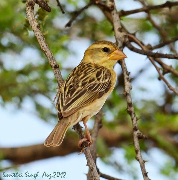 Foto Burung Manyar Jantan